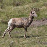 Weibliche Bighorn-Schafe Stockfoto