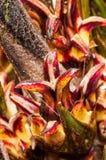 Weibliche Blume Infloresence der Ölpalmen-Umhangfrucht Stockfoto