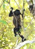 Weibliche Brüllaffe, die im Baum, corcovado Nationalpark, c stillsteht Lizenzfreie Stockbilder