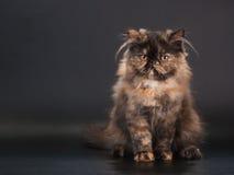 Weibliche Brut der persischen Katze lizenzfreie stockfotos