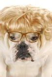 Weibliche Bulldogge Stockfotografie
