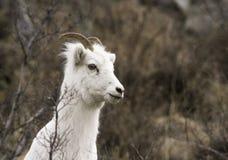 Weibliche Dall-Schafe Lizenzfreie Stockfotografie