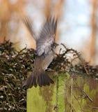 Weibliche Drossel mit Flügeln überspannte - Makrohintere Ansicht Stockfotografie