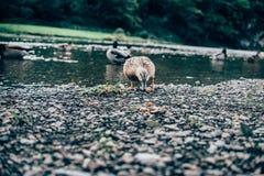 Weibliche einzelne Ente, die Brot in einem Fluss isst Lizenzfreies Stockbild