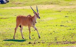 Weibliche Elenantilope-Antilope Lizenzfreie Stockbilder
