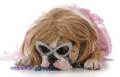 Weibliche englische Bulldogge Lizenzfreie Stockfotos