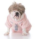 Weibliche englische Bulldogge Stockfoto