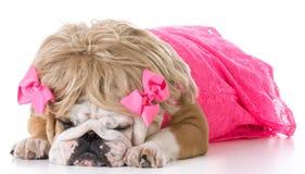 Weibliche englische Bulldogge Lizenzfreies Stockfoto
