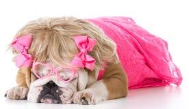 Weibliche englische Bulldogge Lizenzfreie Stockfotografie