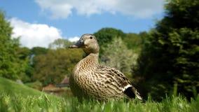 Weibliche Ente lizenzfreies stockfoto
