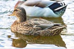Weibliche Ente, die bequem auf dem Fluss schwimmt lizenzfreie stockfotografie