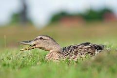 Weibliche Ente, die Klee isst Lizenzfreie Stockfotografie