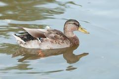 Weibliche Entenschwimmen auf dem Teich Lizenzfreies Stockfoto
