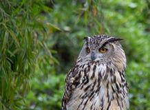 Weibliche eurasische Adler-Eule Lizenzfreie Stockbilder