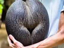 Weibliche exotica Kokosnuss Cocode Mer Nahaufnahmeansicht stockbild