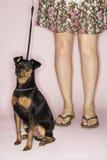 Weibliche Fahrwerkbeine mit Hund. Lizenzfreie Stockfotografie