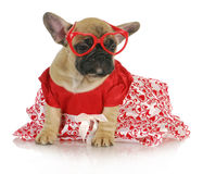 Weibliche französische Bulldogge Lizenzfreie Stockfotos