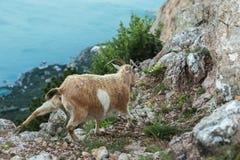 Weibliche Gebirgsziege auf die Oberseite des Berges Ilyas Kaya in Krim Stockfoto