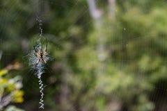 Weibliche gelbe Garten-Spinne Stockbild