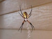 Weibliche gelbe Garten-Spinne im Web Stockbild