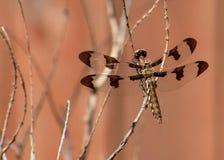 Weibliche gemeine Whitetail-Libelle lizenzfreie stockfotografie