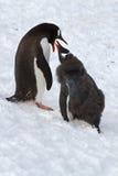 Weibliche Gentoo-Pinguine, das das Küken einzieht, das an steht Stockbild