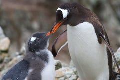 Weibliche Gentoo-Pinguine, das Küken einzieht Stockfotografie