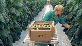 Weibliche Gewächshausarbeitskraft schneidet Gurken ab stock footage