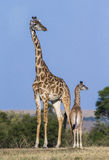 Weibliche Giraffe mit einem Baby in der Savanne kenia tanzania März 2009 Stockfoto
