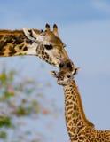 Weibliche Giraffe mit einem Baby in der Savanne kenia tanzania März 2009 Lizenzfreie Stockbilder