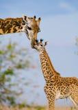 Weibliche Giraffe mit einem Baby in der Savanne kenia tanzania März 2009 Lizenzfreies Stockfoto