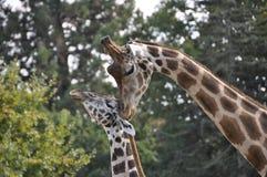 Weibliche Giraffe mit Jungen Lizenzfreies Stockfoto