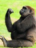 Weibliche Gorilla-Aufstellung Stockbild