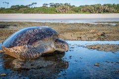 Weibliche grüne Meeresschildkröte auf dem Strand lizenzfreie stockbilder