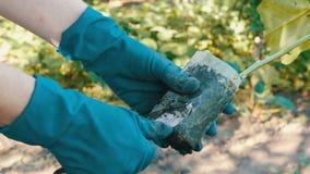Weibliche Hände in den blauen Handschuhen halten Anlage mit einer Wurzel bereit zum Pflanzen stock video footage