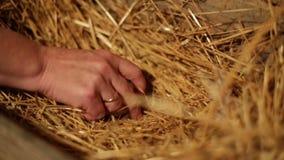 Weibliche Hände, die Eier nehmen stock footage