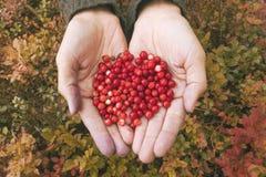 Weibliche Hände, die Handvoll frische rote Moosbeeren bei Autumn Forest Background halten lizenzfreie stockbilder