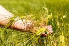 Weibliche Hände, die Weizenähren halten Lizenzfreie Stockfotos
