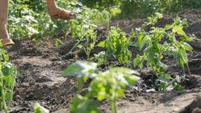 Weibliche Hände graben in die junge Grundtomatenpflanze Tomatenplantage stock video footage