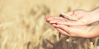 Weibliche Hände halten ein Weizenährchen stockfotografie