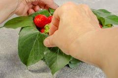 Weibliche Hände machen eine Zusammensetzung von den Blättern und vom reifen neuen strawbe Lizenzfreie Stockfotografie