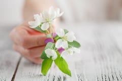 Weibliche Hände mit der Maniküre, die einen Apfelbaum hält, blühen Apple- oder Kirschblüte-Frühlingsblüte lizenzfreie stockbilder