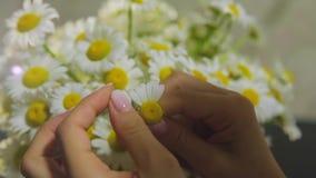 Weibliche Hände reißt Blumenblätter der Kamille und das Schätzen auf Liebe auseinander stock video