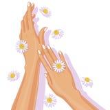 Weibliche Hände und Kamillen-Blumen Stockfoto