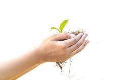 Weibliche Hände, welche die junge Grünpflanze, lokalisiert auf weißem Hintergrund halten Lizenzfreie Stockfotos