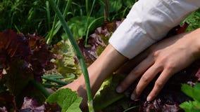 Weibliche Hände zerreißen braunen Salat mit Gemüsebetten stock video