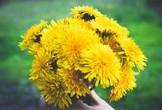 Weibliche Hand, die einen kleinen Blumenstrauß von gelben Löwenzahnblumenstraußblumen hält Nahaufnahme lizenzfreies stockbild