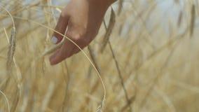 Weibliche Hand, die gelbe Weizenähren auf der Weizenfeldnahaufnahme berührt Verbindung mit Natur, Naturschönheit F?lliger Apfel a stock video footage