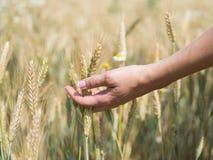 Weibliche Hand, die Weizenährchen auf dem Gebiet am sonnigen Tag, neue Ernte hält stockbild