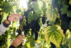 Weibliche Hand hält die Trauben Nahaufnahme mit grünen Blättern auf dem Hintergrund Trauben, die für Wein sich vorbereiten Lizenzfreie Stockfotos